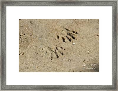 Raccoon Tracks In The Sand Framed Print