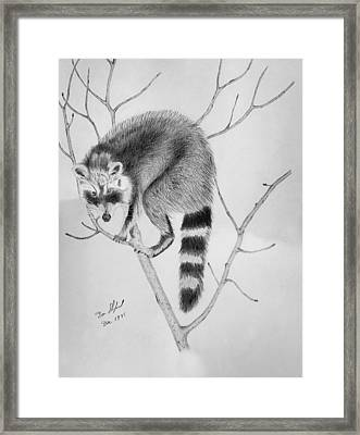 Raccoon Treed  Framed Print by Daniel Shuford