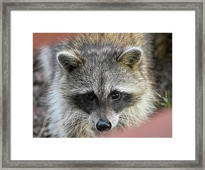 Raccoon's Gorgeous Face Framed Print