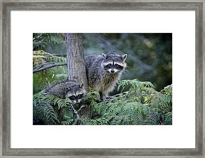 Raccoons In Stanley Park Framed Print