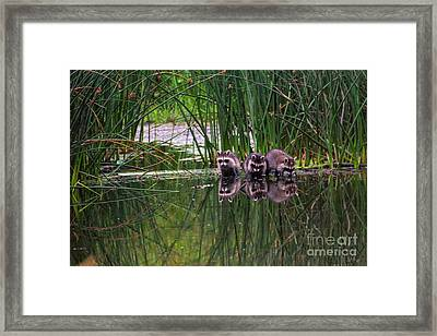 Framed Print featuring the photograph Raccoons by Spencer Baugh