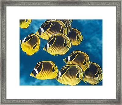 Racoon Butterflyfish  Chaetodon Lunula Framed Print by Thomas Kline
