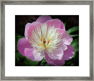 Radiant In Purple - Peony Framed Print