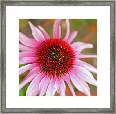 Radiant Pink Framed Print