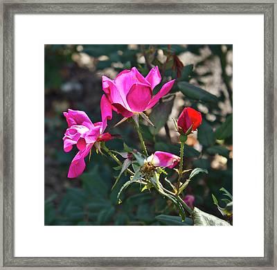 Radiant Rose Framed Print by Jennifer Carrico