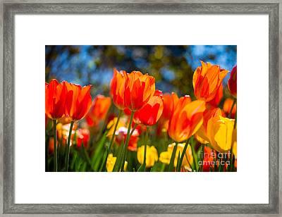 Radiant Tulips Framed Print