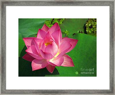 Radiant Water Lily Framed Print
