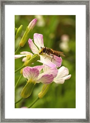 Radish Flower And The Fly Framed Print by Steve Augustin