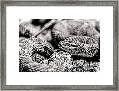 Radnor Lake Northern Water Snake Black And White Framed Print