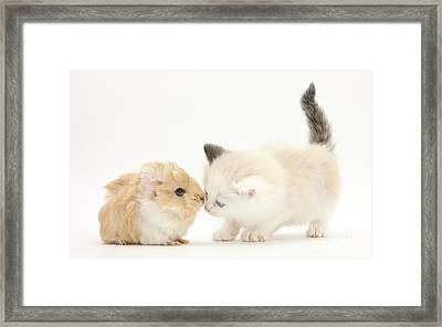 Ragdoll-cross Kitten And Baby Guinea Pig Framed Print by Mark Taylor