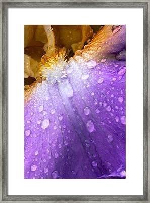 Rain Covered Iris Framed Print by Amanda Kiplinger