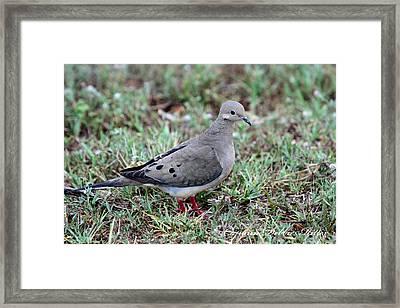 Rain Dove Framed Print
