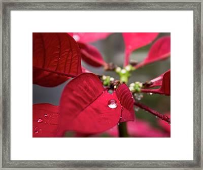Rain Drop On A Poinsettia  Framed Print