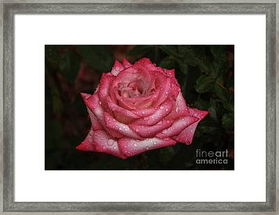 Rain Drop Rose Framed Print