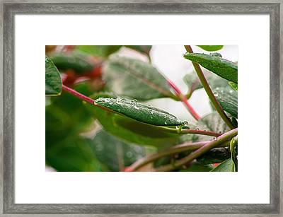 Rain Drops On A Leaf Framed Print