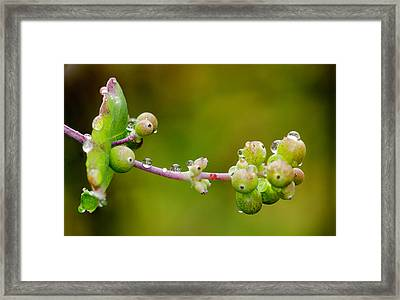 Rain Drops On A Stem Framed Print