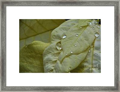 Rain Drops On A  White Poinsettia Framed Print