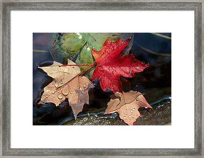 Rain Drops On Leaves Framed Print by Raju Alagawadi