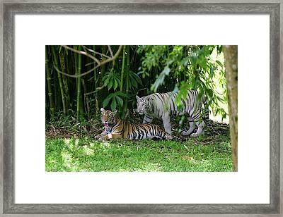 Rain Forest Tigers Framed Print