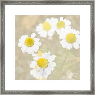 Rain-kissed Chamomile Framed Print