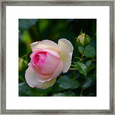 Framed Print featuring the photograph Rain-kissed Rose by Byron Varvarigos