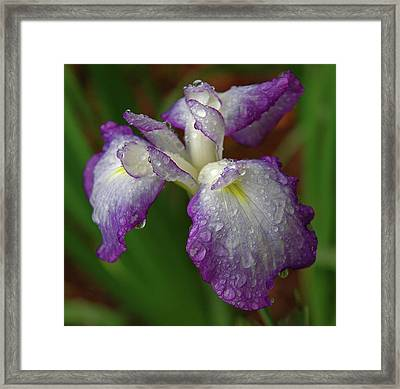 Rain-soaked Iris Framed Print