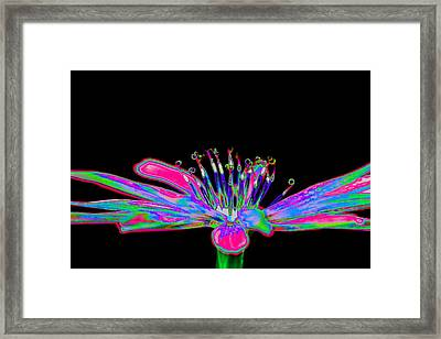 Rainbow Chicory Framed Print