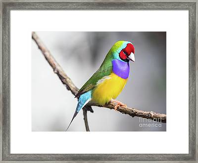 Rainbow Finch Framed Print
