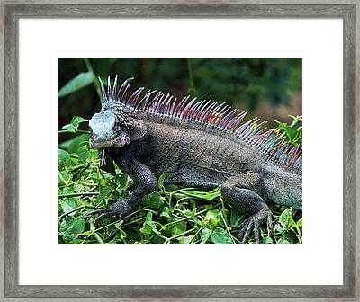 Rainbow Iguana Framed Print