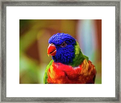 Rainbow Lorikeet Framed Print by Martin Newman