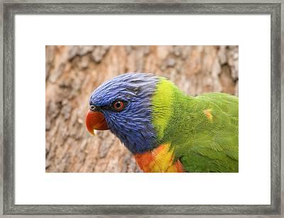 Rainbow Lorikeet Framed Print by Mike  Dawson