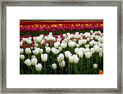 Rainbow Of Tulips Framed Print by Sonja Anderson