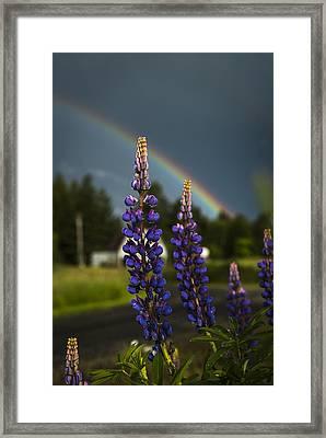 Rainbow Over Lupine  Framed Print