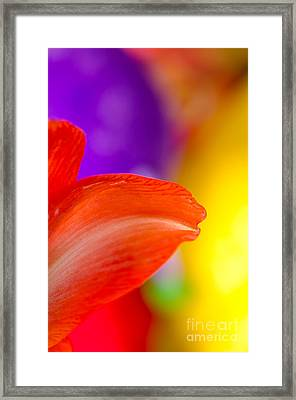 Rainbow Tip Red Amaryllis Petal Tip On A Rainbow Background Framed Print by Andy Smy