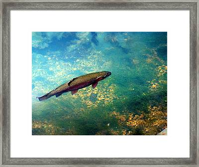 Rainbow Trout Framed Print by Marty Koch