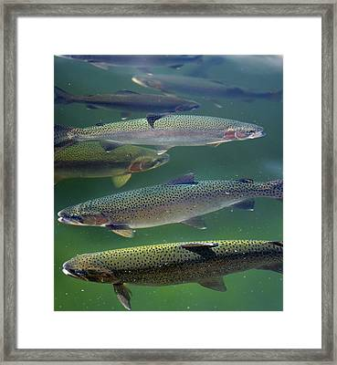 Rainbow Trout Swimming On The Surface Of A Lake In Quebec Framed Print by Reimar Gaertner