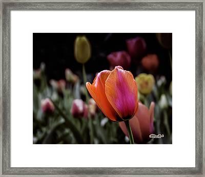 Rainbow Tulip Framed Print
