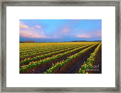 Rainbows, Daffodils And Sunset Framed Print by Mike Dawson