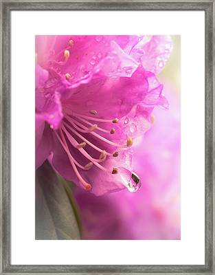 Framed Print featuring the photograph Raindrop On Rhododenron by Jim Hughes