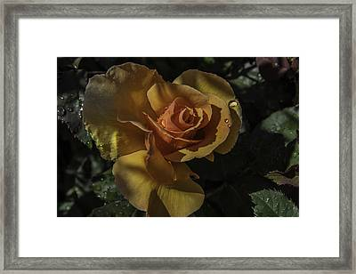 Raindrop Rose Framed Print