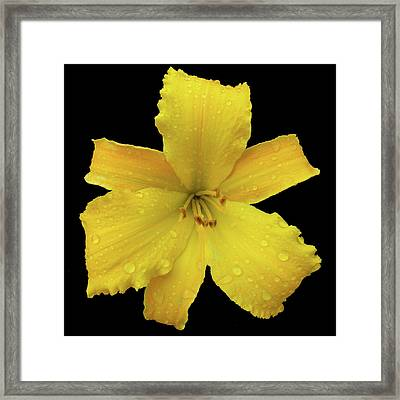 Raindrops On A Yellow Daylily Framed Print by Tara Hutton