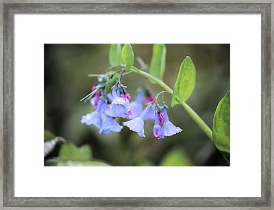 Raindrops On Blue Bells Framed Print