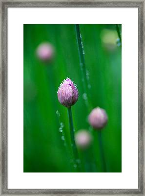 Framed Print featuring the photograph Raindrops On Chive Flowers by Jane Melgaard