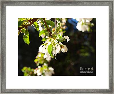 Raindrops On Crab Apple Blossoms Framed Print by Christine S Zipps