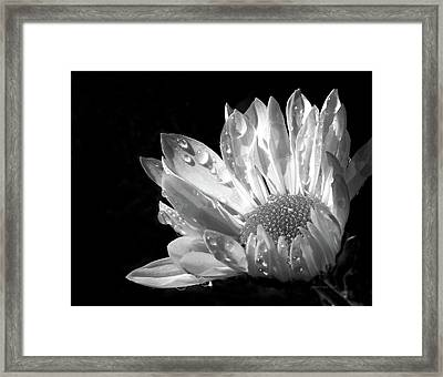 Raindrops On Daisy Black And White Framed Print by Jennie Marie Schell