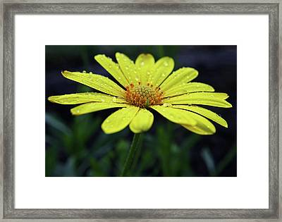Framed Print featuring the photograph Raindrops On Daisy by Judy Vincent