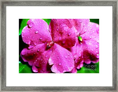 Raindrops On Impatiens Framed Print by Thomas R Fletcher
