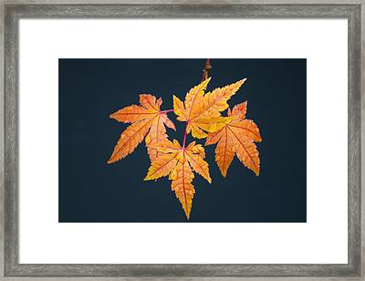 Raindrops On Japanese Maple Leaves Framed Print by Frank Wilson