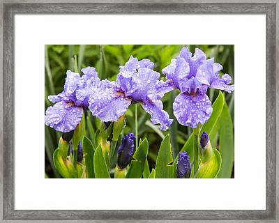 Raindrops On Iris's Framed Print