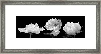 Raindrops On Peonies Black And White Panoramic Framed Print by Gill Billington